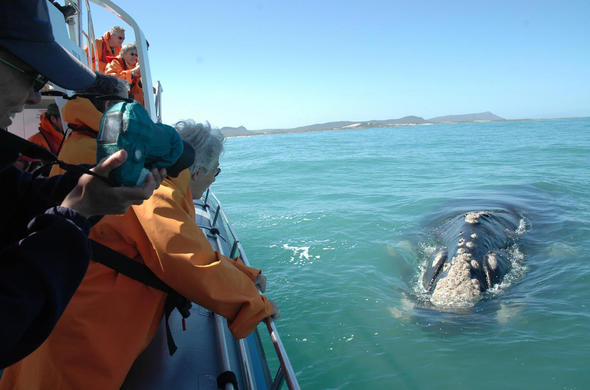 Whale Watching in Hermanus.